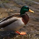 Daddy Mallard looks for a meal. by Adam Kuehl