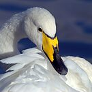 Whooper Swan Portrait by Margaret S Sweeny