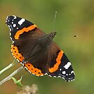 Red Admiral Butterfly by Robert Abraham