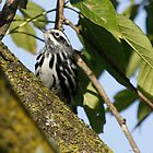 Black and White Warbler by Dennis Cheeseman