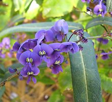 No ordinary pea - hardenbergia by kate18a