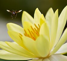 fly on yellow lotus leaf by arthit somsakul