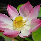 Lotus in the Pond by Citisurfer