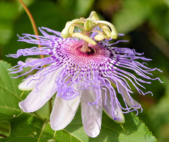 Passion Flower 2 by ©Dawne M. Dunton