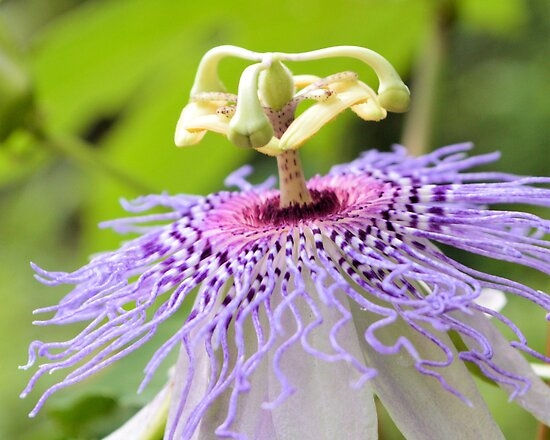 Passion Flower 1 by Dawne Dunton