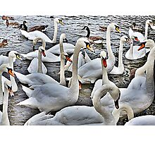 Swans at Bowness. Photographic Print