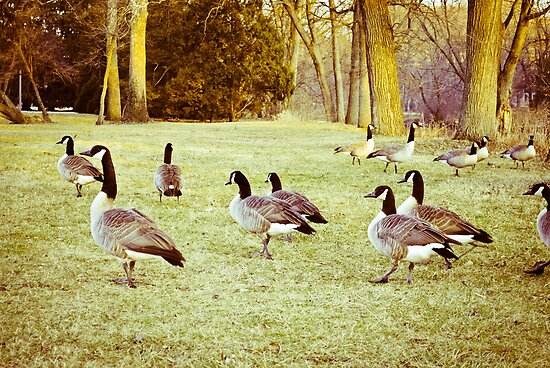 A Flock Of Geese by benjaminperfect