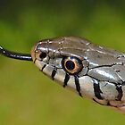 Grass Snake in UK by ChrisBalcombe