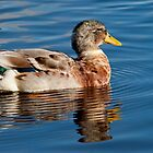 Mallard Drake by Margaret S Sweeny
