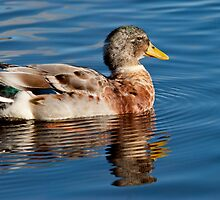 Mallard Drake by M.S. Photography & Art