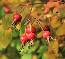 Wild Rose Hips by Jim Sauchyn