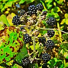 Blackberries by Lisa Hafey