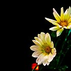 Gazania by Night by BoB Davis