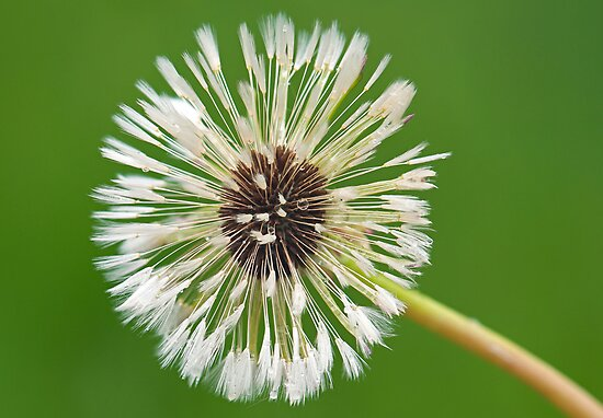 Wet Dandelion by Keld Bach