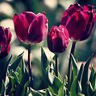 Red Tulips by yolanda