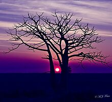 Boab Sunset. Derby. West Kimberley region of Western Australia. by Mary Jane Foster