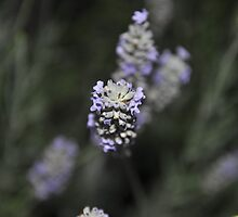 Lavender mob by roggcar