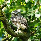 little owl in tree by Steve Shand