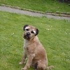 Border Terrier on Lawn by John Honeyman