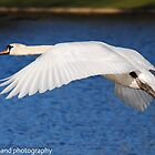 mute swan by Steve Shand