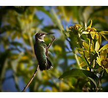 Ruby Throated Hummingbird Female Photographic Print