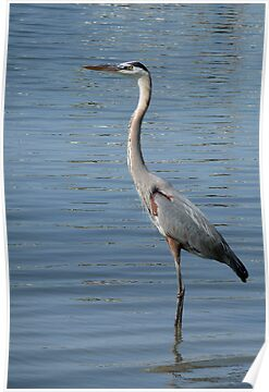 Great Blue Heron by Evelyn Laeschke