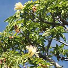 Boab Tree In Flower by Finkie