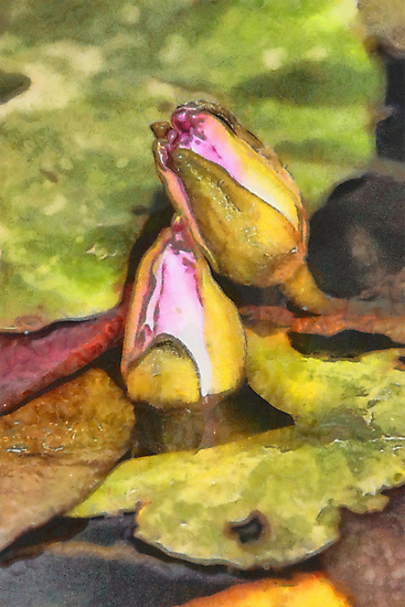 Water Lily Buds in DAP Watercolor by Robert Armendariz