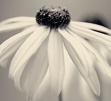 Rudbekia hi-key by SteelLadybird