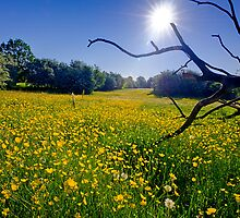 Buttercup Field by Keld Bach