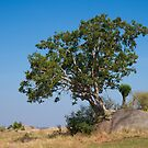 Rock-splitter Fig, Maasai Mara, Tanzania by Neville Jones