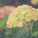 Pink Hydrangeas by sunrisern