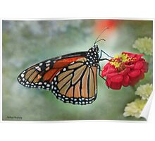 Monarch on Zinnia  Poster
