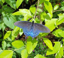 Blue Butterfly by Dawne Dunton