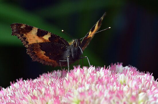 Small Tortoiseshell Feeding by Chris Monks