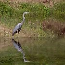 Juvenile  Great Blue Heron  by barnsis