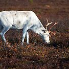 Reindeer by ilpo laurila