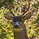 Portrait of the Black Tailed Buck... by RichImage