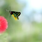 Cairns Birdwing Butterfly, Mission Beach by Susan Kelly