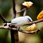 Bali Starling Lunchtime by RickyMoorePhoto