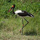 Saddle-billed Stork (Ephippiorhynchus senegalensis), Ol Pejeta, Kenya by Neville Jones