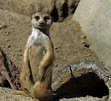 The Most Interesting Meerkat in the World by Nevermind the Camera Photography