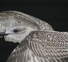 Juvenile Herring Gull by ellismorleyphto
