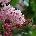 Soft Pink Lilacs by Debbie Oppermann
