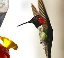 A Hummingbird Landing by Steven  Van Gucht