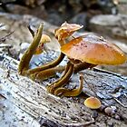 Velvet Foot Mushroom - Flammulina velutipes by MotherNature