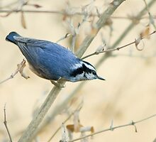 Red-breasted Nuthatch by KatMagic Photography