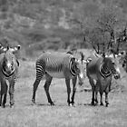 Grevy's Zebras at Samburu, Kenya by roger smith