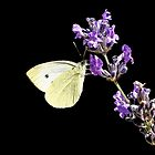Feasting on Lavender by Mark Hughes