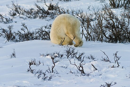 Never enough snow for a polar by Owed to Nature